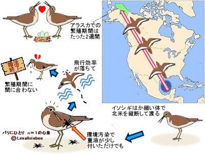 イソシギの渡りと繁殖に遅れは許されない