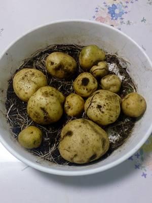 ジャガイモ初収穫