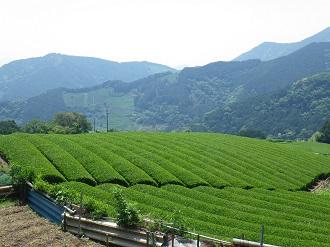 平山の茶畑