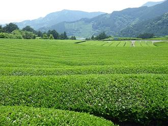 平山の茶畑2