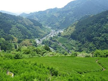 平山の茶畑3