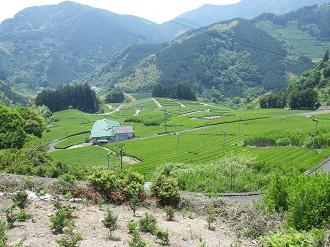 平山の茶畑4