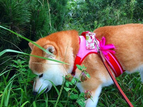 道草食う柴犬