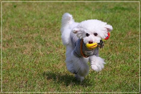 ブランちゃんもお決まりのボール遊びに夢中ね♪
