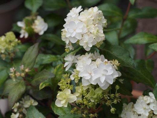 八重咲きコガクウヅキ