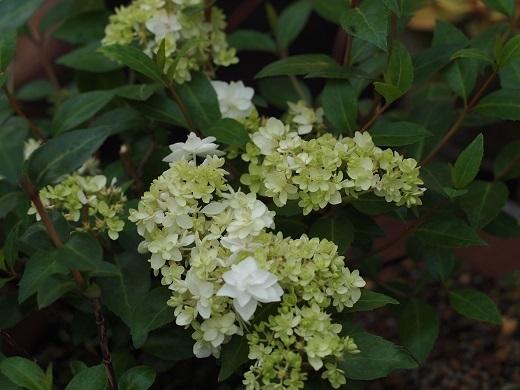 八重咲きコガクウヅキ1