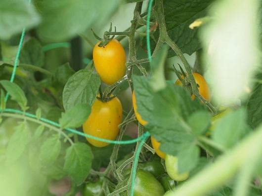 ミニトマト黄