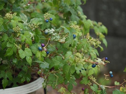 5斑入りノブドウ