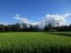 稲が伸びた田んぼ