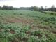 麦の後の大豆畑