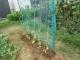 キュウリの苗を植えた