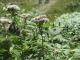アサギマダラとヨツバヒヨドリ