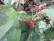 ミヤマニガイチゴ
