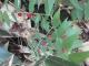 タケシマランの赤い実