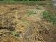 畑に植え替えたスイカの苗