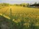 夕陽に輝く麦畑