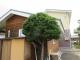 イチイの木を剪定