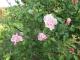 遅咲きの庭のバラ