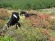 牛とレンゲツツジ