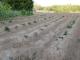 100%発芽したジャガイモ