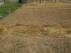 ショウガの根を植えた