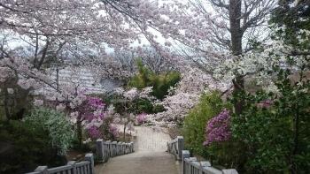 観音堂からの桜