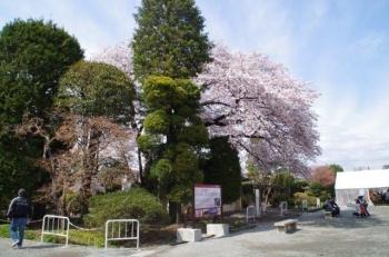 またまた富岡製糸場さくらも綺麗