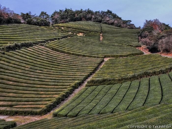 和束町の茶畑景観