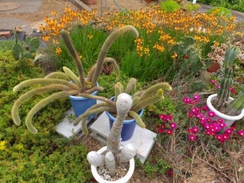 黄金紐(黄金柱) クレイストカクタス ウインテリ(Cleistocactus winteri) 植え替えました♪2017.05.09