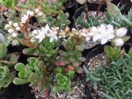 セダム・ジョイスドロープ(白花)♪2017.05.10