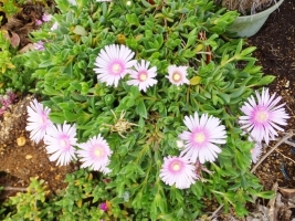 匍匐性~◆デロスペルマ・ラズベリーアイス~柔らかい淡紫花開花中♪2017.05.19