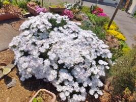 木立性松葉菊~◆ランプランタス・白花♪~木質化して満開花中♪輝く純白花~2017.05.19