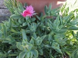 地植えにした■セムナンテ・清流(Semnanthe lacera)~花芽だらけ♪2017.05.19