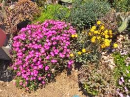 トリコディアデマ・稀宝(左:ピンク花)、デコルム(右:オレンジ花)地植えでどんな塊根になっているでしょう♪2017.05.19