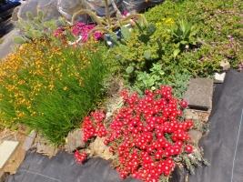 ランプランタス(赤花)、リデンベルゲンセ(小花:ピンク)、花アロエ~満開花中♪2017.05.19