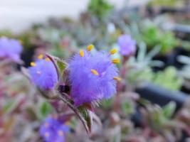 ■キアノティス(アラゲツユクサ属) 銀毛冠(ぎんもうかん)(Cyanotis somaliensis) ブルー花開花♪2017.05.23