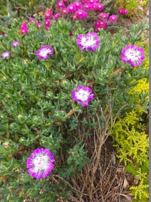 ケンシチア・千歳菊 (Kensitia pillansii) もたくさん咲きそう♪2017.05.24