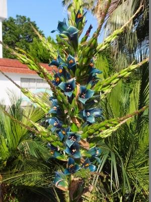 プヤ・アルペストリス(Puya alpestris)~熱川バナナワニ園にて開花に遭遇♪2017.06.05