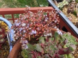 セダム・カウルレアこぼれ種がセンペルビウムの鉢中で勝手に育ち開花しました♪2017.06.11