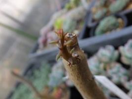 アローディア・デュモーサ(Alluaudia dumosa)2016.07.30胴切のび挿し木苗の新芽が出てきました♪2017.6.12
