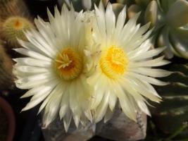 アストロフィツム・鸞鳳玉(らんぽうぎょく)の花のいい香り♪開花中♪2017.06.15