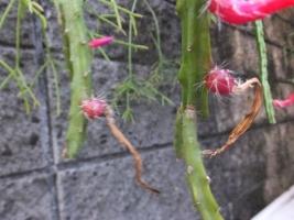 アポロカクタス・メラニー(赤花に実ができました♪中に種が・・・2017.06.23)