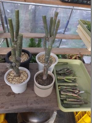 セネシオ・クレイニア(Senecio kleinia)天竜~ぶつ切りにして乾かして挿し木します。2017.07.10