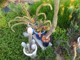 クレイストカクタス・黄金柱(Cleistocactus winteri)美オレンジ花♪開花中♪2017.07.18
