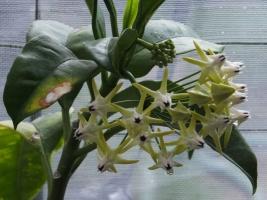 ホヤ・ムルチフロラ(Hoya multiflora)天の川(織姫・彦星)流れ星開花中♪2017.07.18