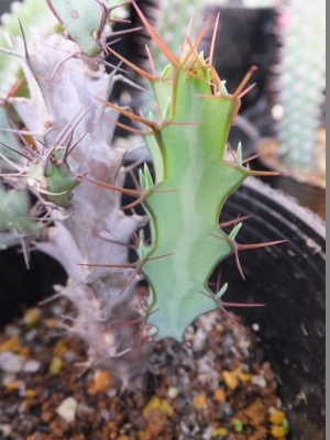 ユーフォルビア・グリーンウェイ(Euphorbia greenway var. greenway)2017.07.31