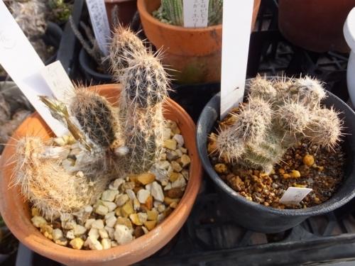 セティエキノプシス・ミラビリス(Setiechinopsis mirabilis)(奇想丸)に花芽\(^o^)/♪2017.07.31