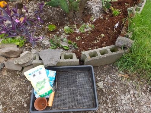 オロスタキス・大型岩レンゲのこぼれ種実生苗が生えすぎです\(-o-)/地植えコーナーにバラまきました。2017.08.13