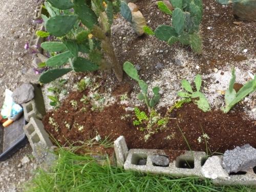 オロスタキス・大型岩レンゲのこぼれ種実生苗が生えすぎです\(-o-)/地植えコーナーにバラまきます。2017.08.13