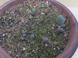 帝玉の実生苗うまく育っていないのでは鉢上げしました。2017.08.20